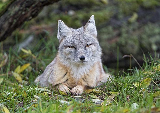 Le renard corsac