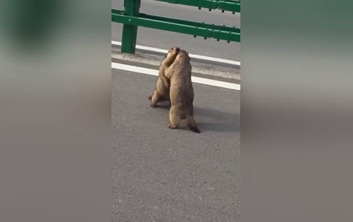 Mortal Combat version animale: deux marmottes s'affrontent sur une autoroute chinoise