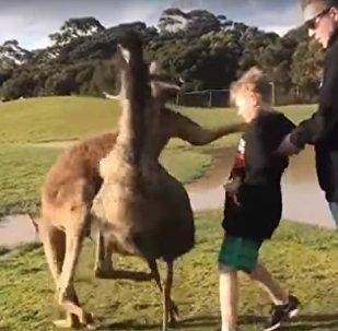 Tu peux la garder, ta charité! Un kangourou frappe un garçon en plein visage