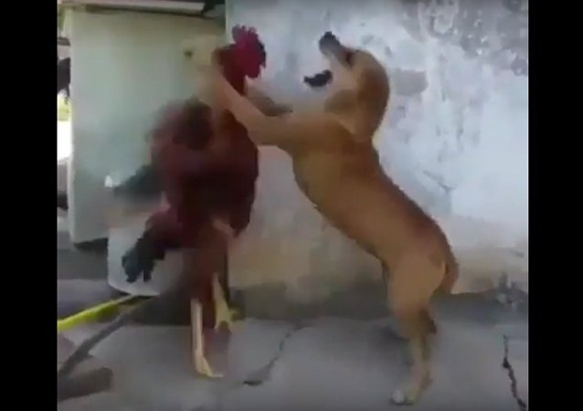 Dog and Rooster fight must watch