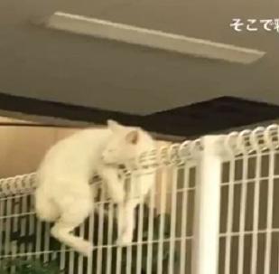 Trop paresseux pour la traverser, ce chat s'est endormi tout en haut de la clôture