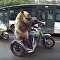 Russian Bear Stuck in Rush Hour