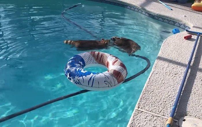 Deux ratons-laveurs profitent de leur journée à la piscine