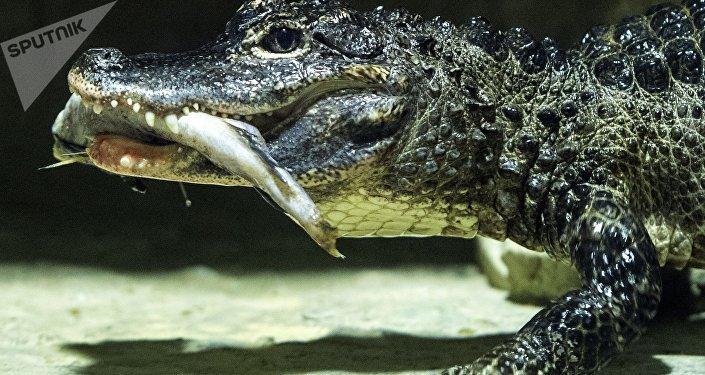 Crocodile du Siam