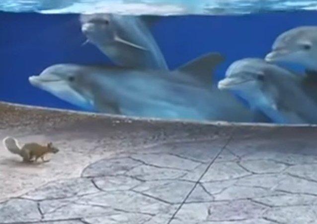 Les dauphins attirés par des écureuils (vidéo)