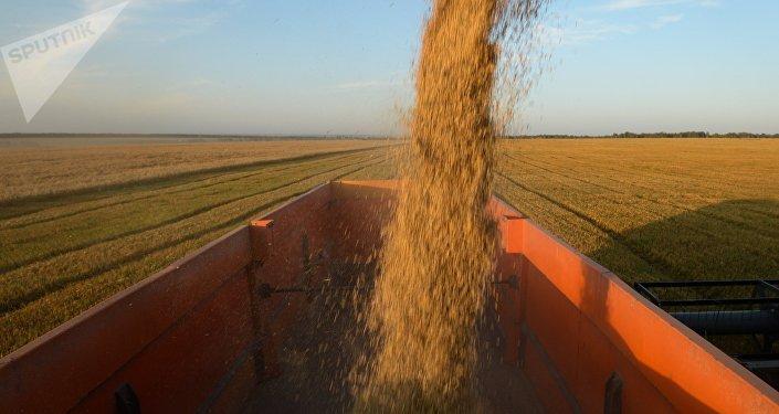 Poutine: une récolte de blé record attendue cette année en Russie