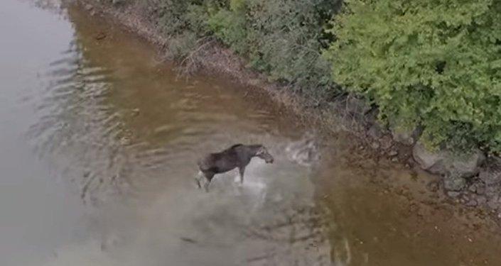 Qui de ce loup ou de cet élan cédera le premier?
