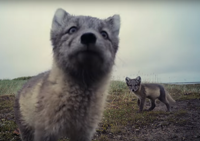 Des petits renards arctiques détruisent une caméra cachée