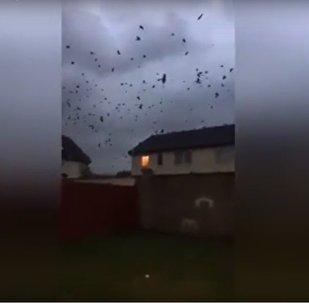 Des centaines d'oiseaux fuient l'ouragan Ophelia qui arrive sur les côtes irlandaises