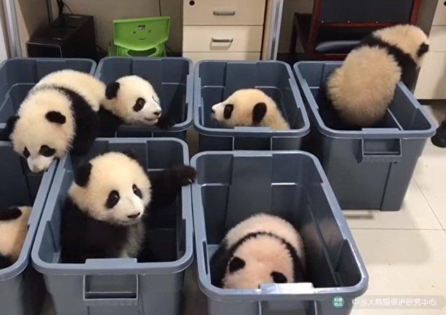 Y-a-t-il au monde quelque chose de plus mignon que des bébé-pandas?