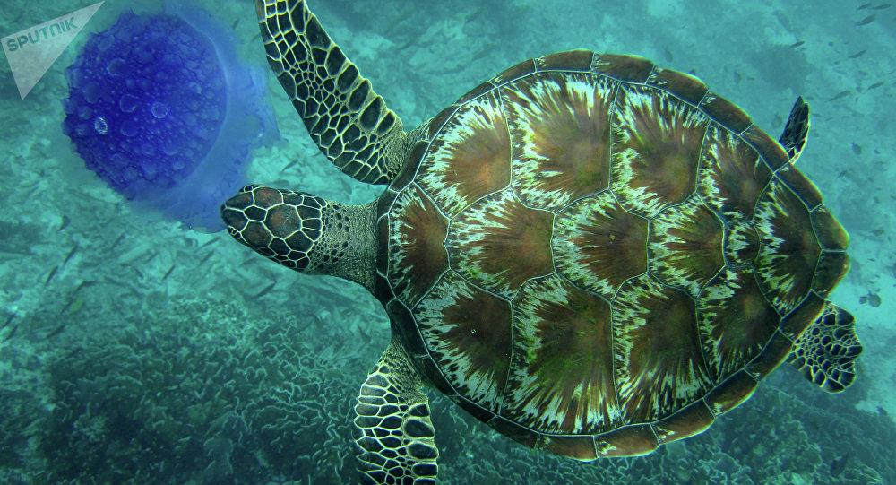 Des centaines de tortues de mer mortes au large du - Images tortue ...