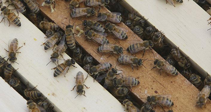 Une énorme ruche avec 60.000 abeilles découverte dans un hôpital de Cambridge (vidéo)
