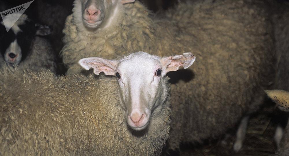 Ce mouton est capable de reconnaître Barack Obama en photo