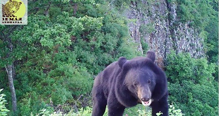 Un ours brun retire la carte mémoire d'un piège photographique