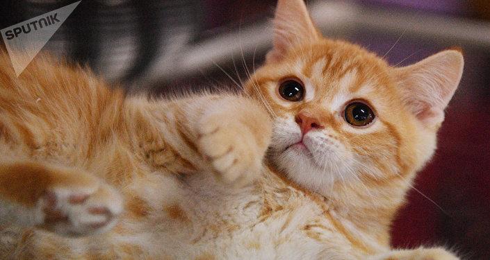La plupart des chats domestiques résident en Russie