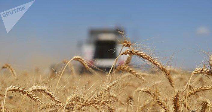 Le blé russe
