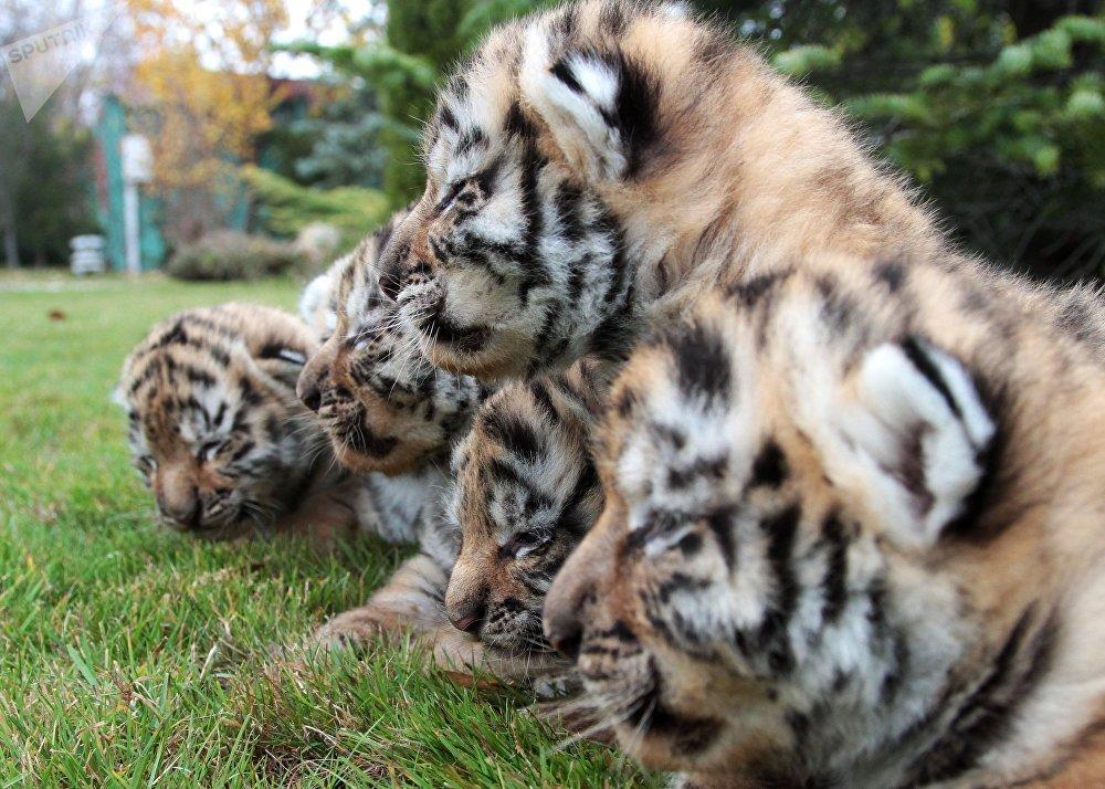 Six tigres de l'Amour sont nés dans le parc safari Taïgan à Belogorsk, en Crimée
