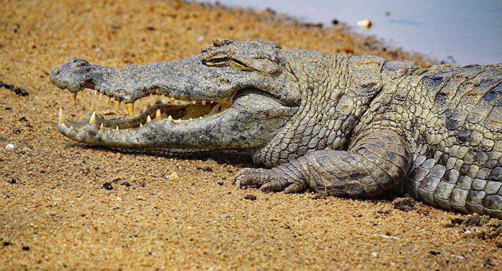 Un crocodile (image d'illustration)