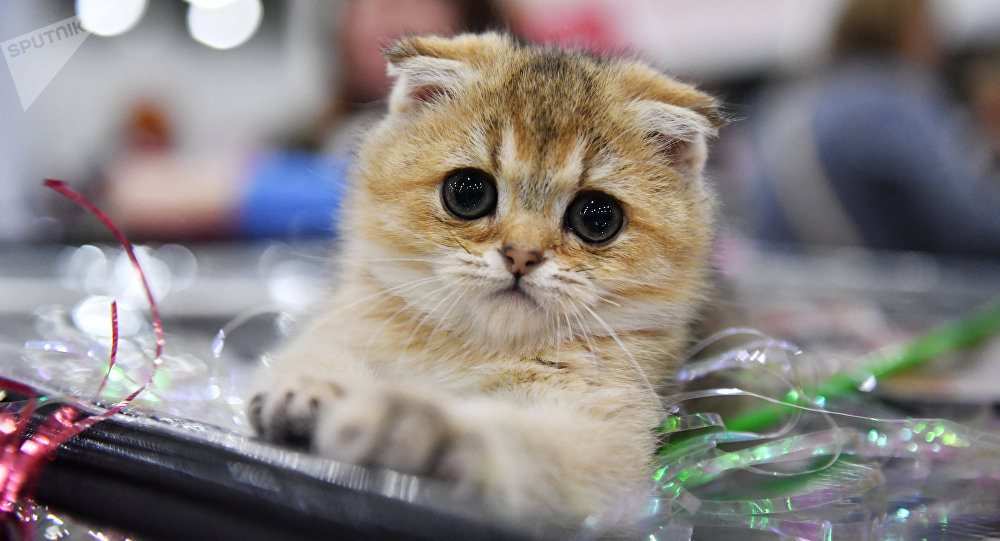 Un Scottish Fold