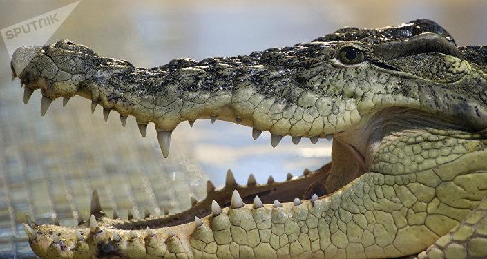 Crocodile de Nil