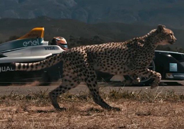 Guépard vs voiture de course électrique. Qui va gagner?