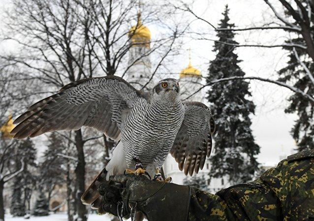Service de lutte contre les corneilles au Kremlin de Moscou