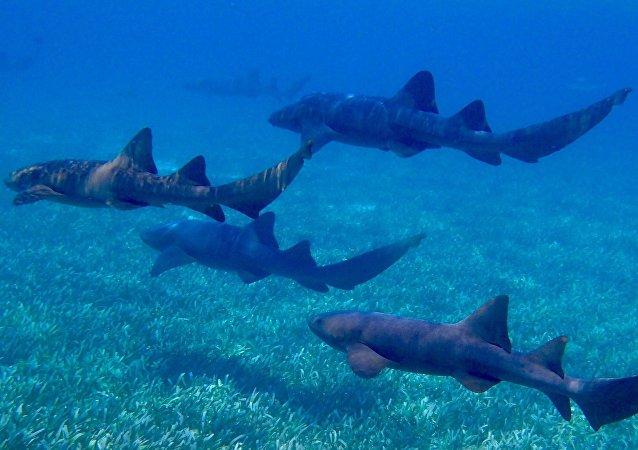 Requins-nourrices