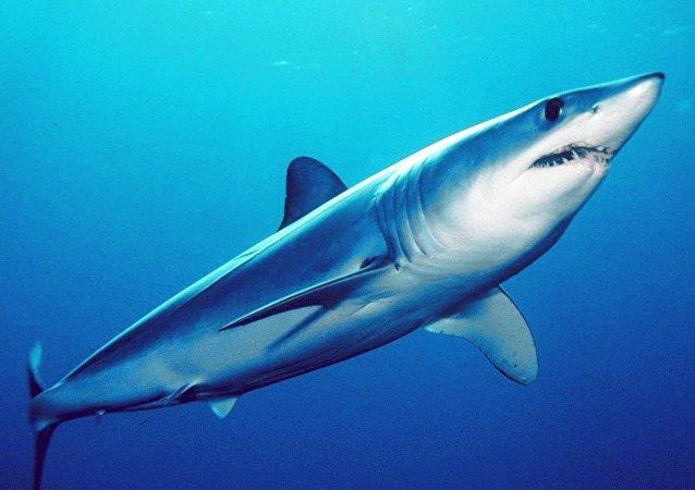 Un requin mako