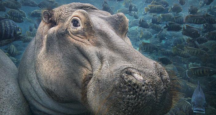 Hippopotamus Underwater
