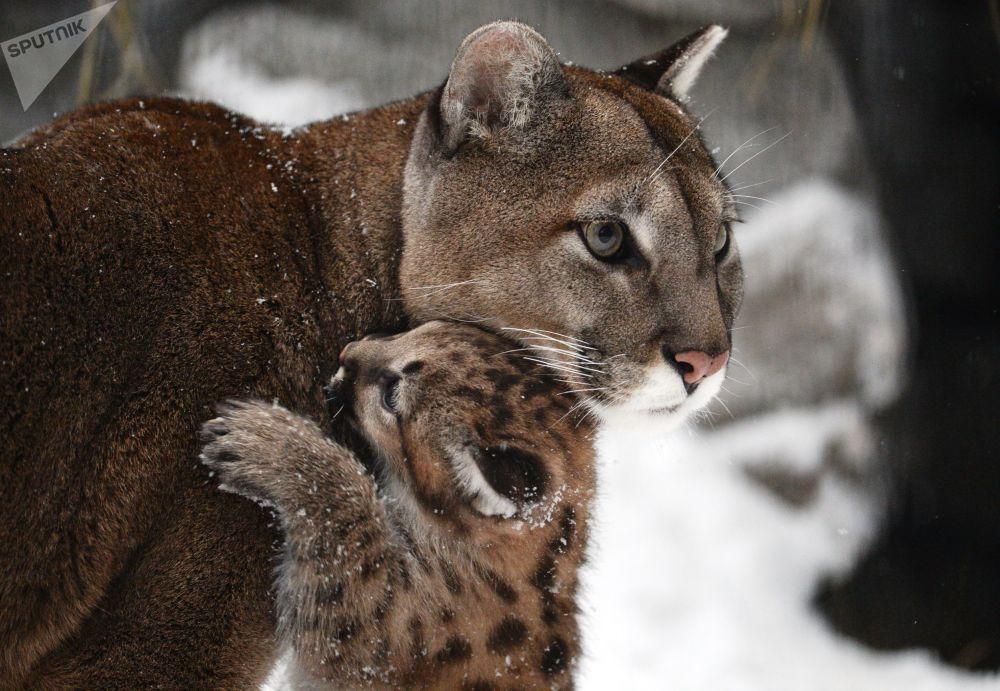 La jolie carte de vœux du zoo de Novossibirsk: les premiers pas d'un bébé puma