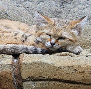 chat de sable