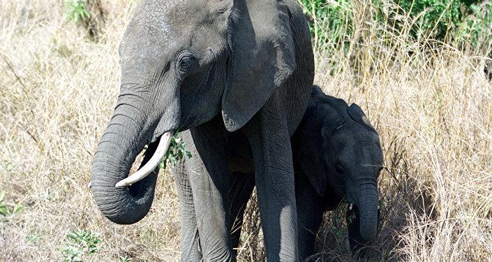 Une famille d'éléphants au parc national de Mikumi. La République-Unie de Tanzanie