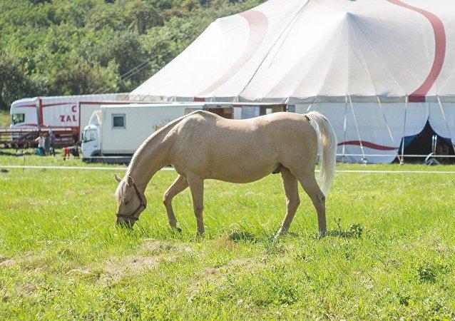 Un cheval de cirque