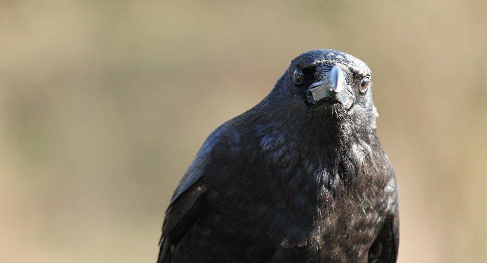 Un corbeau