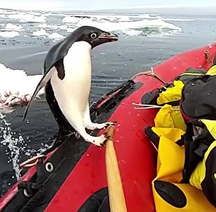 Dans un style très antarctique, un manchot a assouvi sa curiosité en inspectant un bateau pneumatique