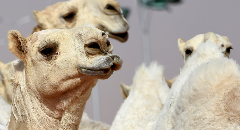 Des chameaux disqualifiés d'un concours de beauté... pour utilisation de botox