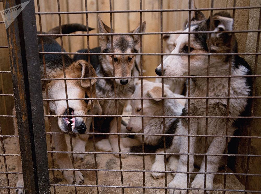 Chiens dans une cage de l'abri temporaire pour les animaux errants