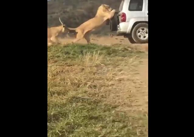 Un moteur qui rugit: un lion pousse une voiture