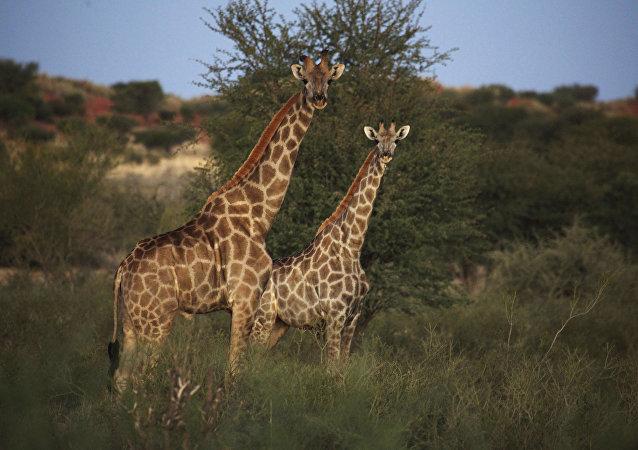 Des girafes en Namibie
