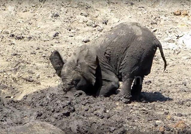 La boue, j'adore! Un bébé éléphant prend un bain de boue