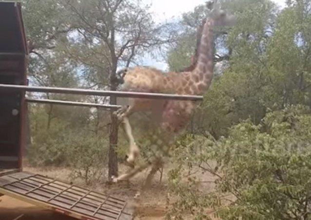 La liberté a grisé cette girafe!
