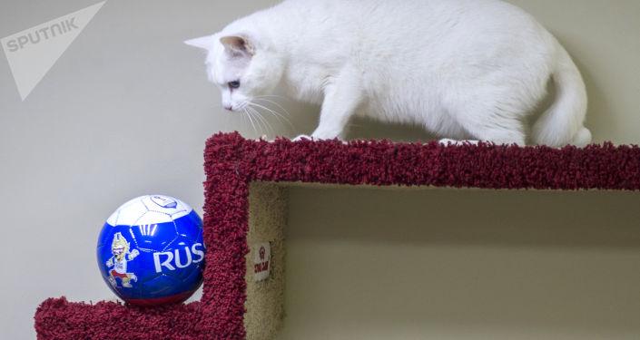 Эрмитажный кот-оракул Ахилл, работающий в Эрмитаже в Санкт-Петербурге