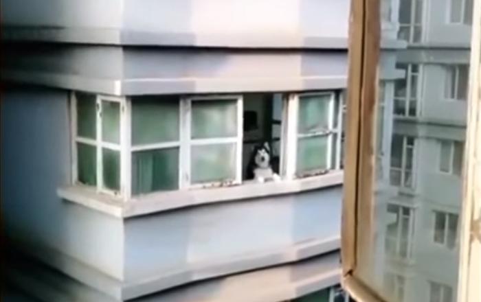 Awoo! Un chien répond au cri d'un voisin