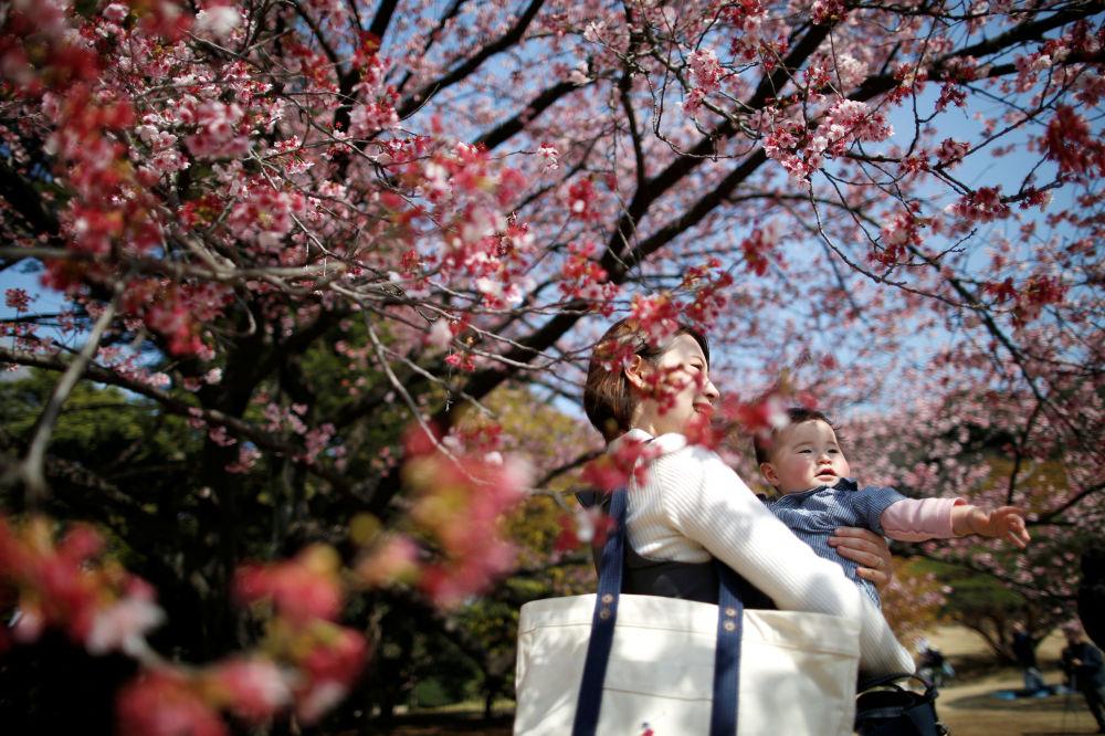 la floraison pr coce du cerisier au japon et en chine. Black Bedroom Furniture Sets. Home Design Ideas