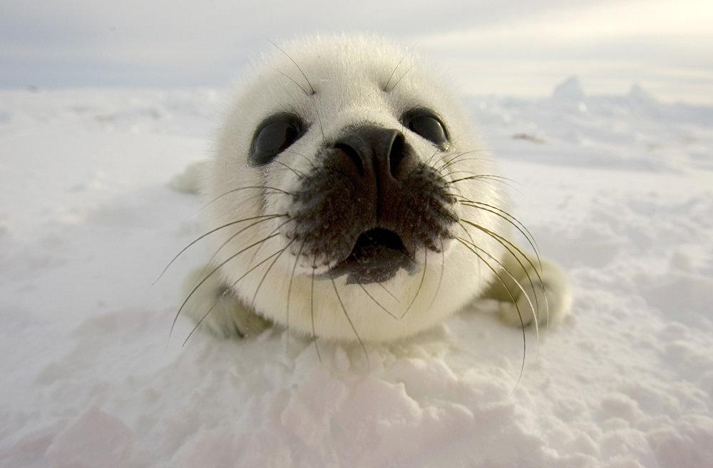 Un bébé-phoque
