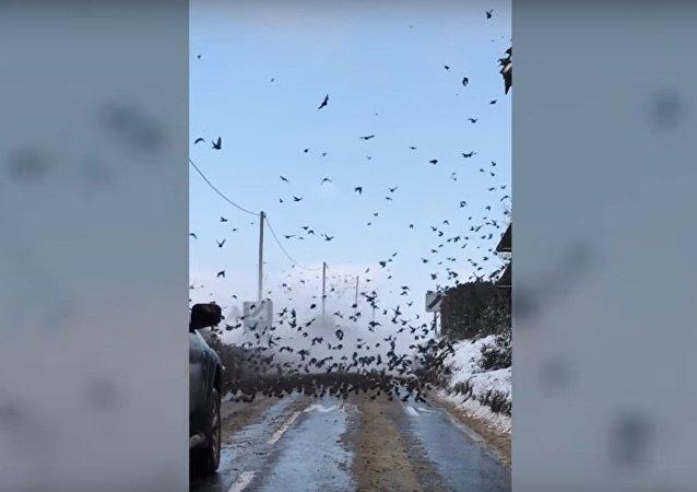 Les oiseaux d'Hitchcock: des milliers d'étourneaux occupent une route en Angleterre