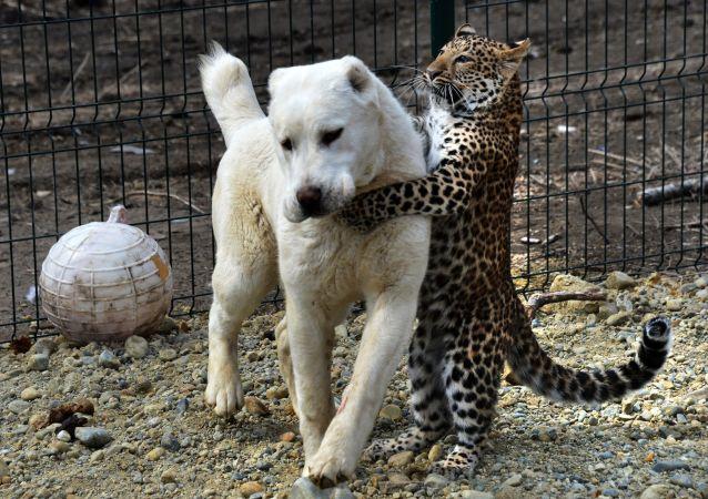 Un berger d'Asie centrale adopte un bébé léopard