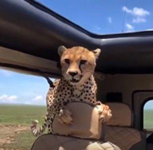 Un guépard a sauté dans une voiture de touristes en Tanzanie