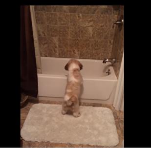 Shih Tzu puppy plays fetch all by herself