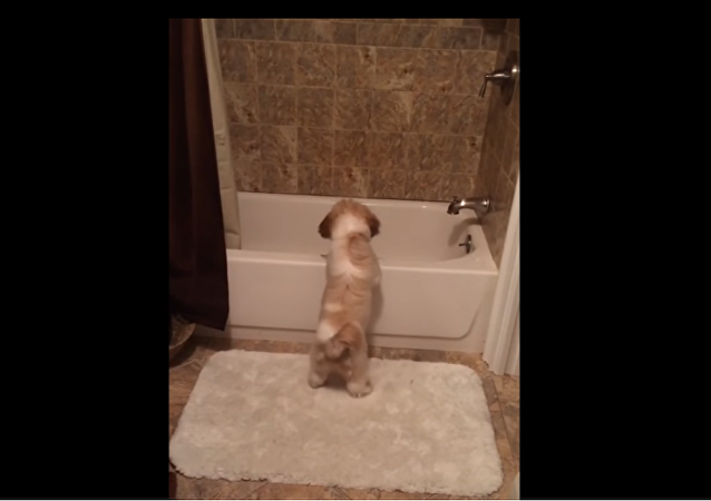 Shih Tzu puppy plays fetch all by herself
